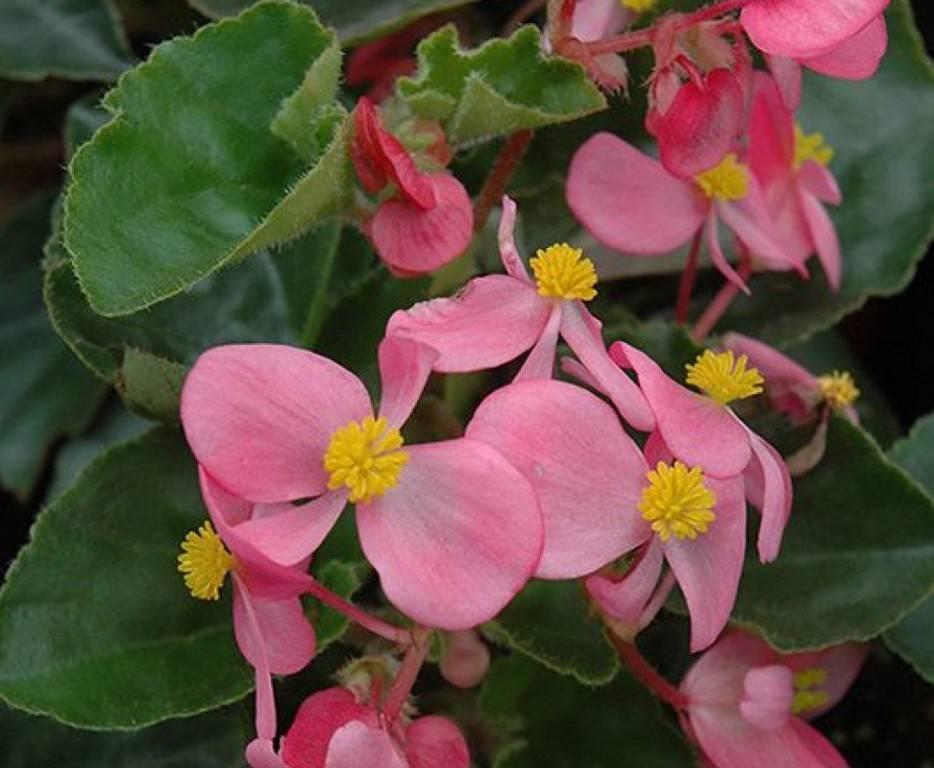 Уход в домашних условиях за бегонией вечноцветущей: фото цветка, а также правила размножения семенами и черенкованием