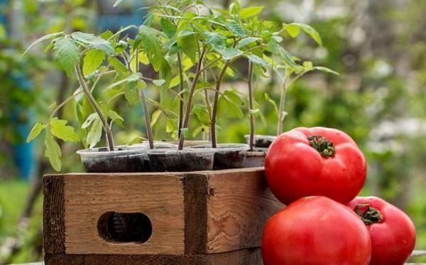 Технология применения органоминерального удобрения синьор помидор