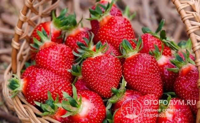 Гнилые яблоки как удобрение для малины и клубники, видео