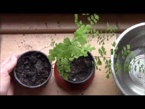 Какие болезни листьев встречаются у душистой герани? варианты решения проблем