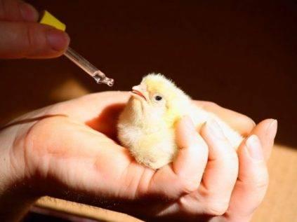 Понос у цыплят и взрослых бройлеров — что делать, чтобы вылечить