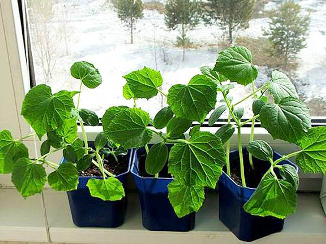Урожай круглый год: как вырастить огурцы на подоконнике