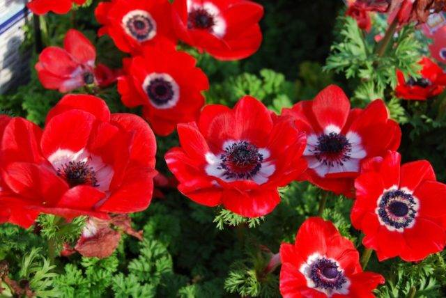 Клубневые анемоны: посадка и уход, особенности выращивания в открытом грунте
