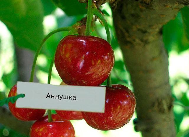 Описание сорта вишни тургеневская и особенности ее выращивания