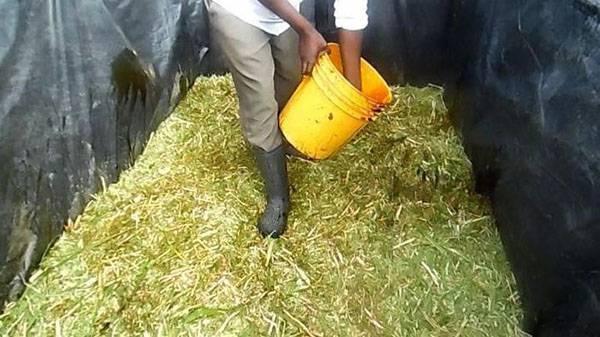 Лучшие силосные культуры и приготовление кормов