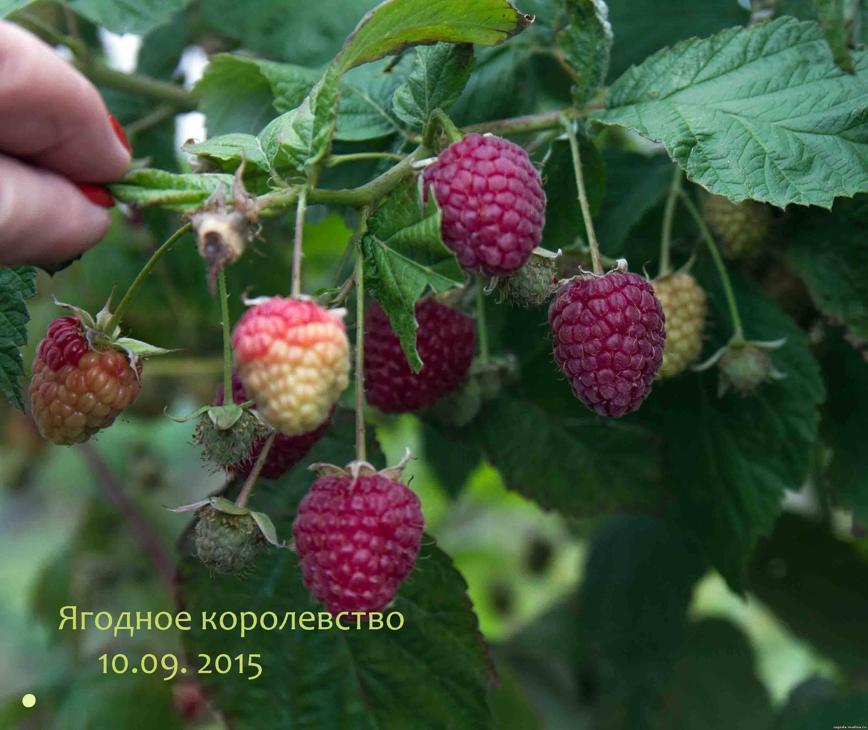 Как открыть бизнес по выращиванию малины