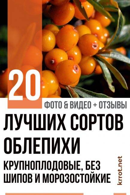 "Заготовки на зиму из ягоды облепихи. 33 секрета заготовки ""золотой"" ягоды - облепихи на зиму."