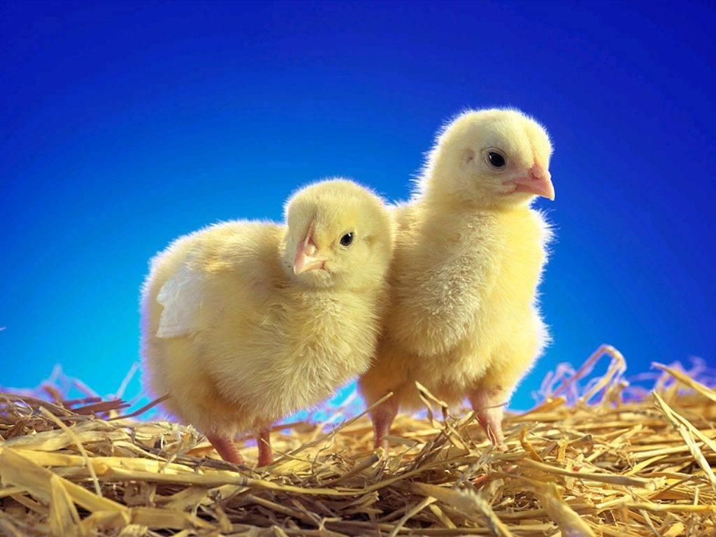 Чиктоник инструкция по применению для цыплят бройлеров