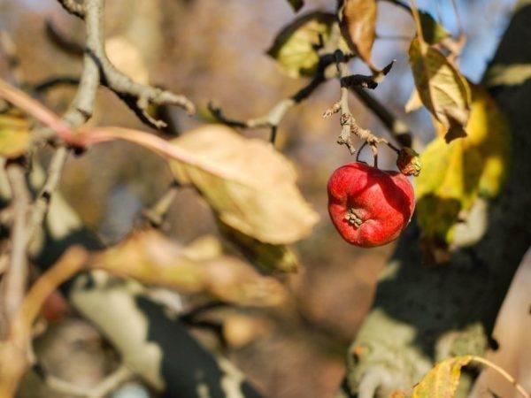 Яблоня: болезни и вредители, чем обработать