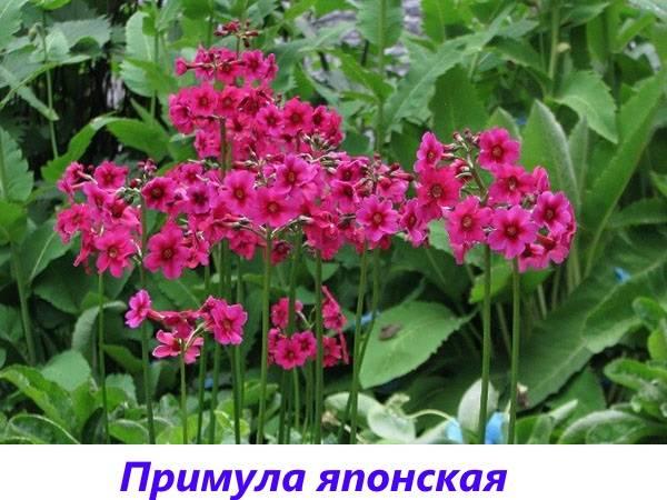 Примула из семян в домашних условиях: лёгкое выращивание