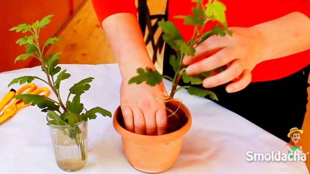 Как осуществляется черенкование хризантем?
