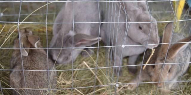 Разведение кроликов: особенности и основные правила содержания