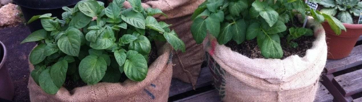 Посадка картофеля под солому: учимся новому способу