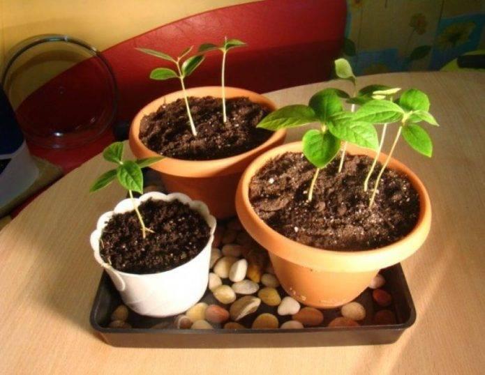 Вырастить дома хурму из косточки совсем не сложно. хурма, выращивание в домашних условиях – не миф, а реальность! что можно сделать из косточек хурмы