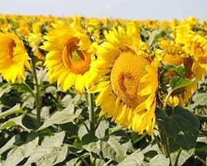 Удобрения для повышения урожайности подсолнечника и гербициды для борьбы с сорняками