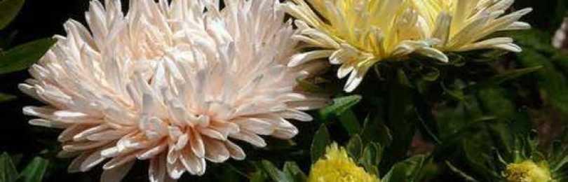 Астры: выращивание и уход