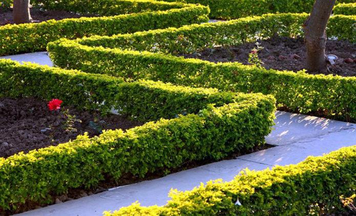 Как быстро и просто вырастить акацию из семян
