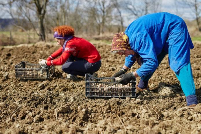 Посадка картофеля: рассчитываем благоприятные дни по лунному календарю в 2020 году