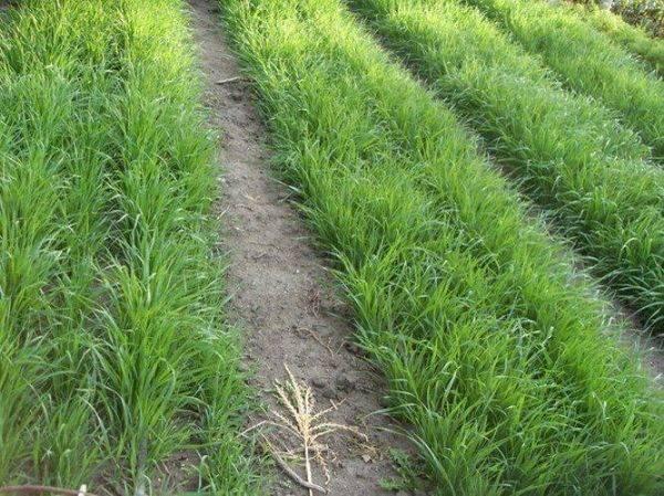Какие сидераты можно сеять осенью после уборки урожая