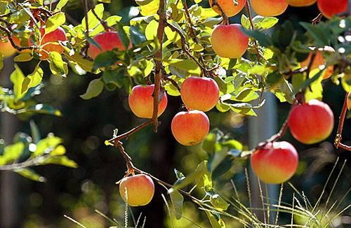 Узнайте почему трескаются и гниют яблоки на яблоне