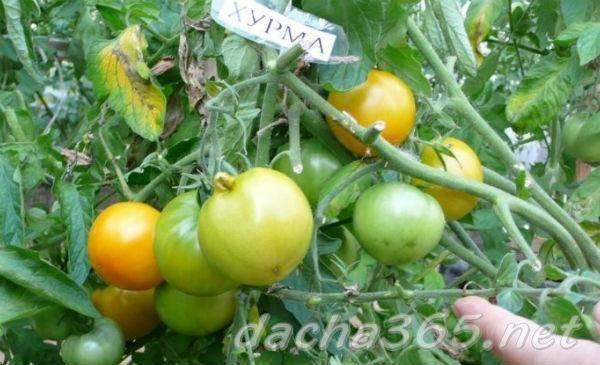 Томат хурма – один из лучших желтоплодных сортов