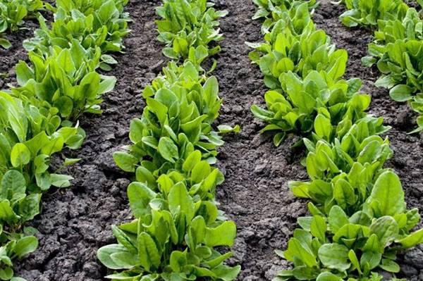 Как правильно выращивать щавель в открытом грунте