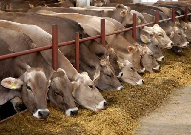 Выгодно ли держать корову на молоко: отзывы и расчет