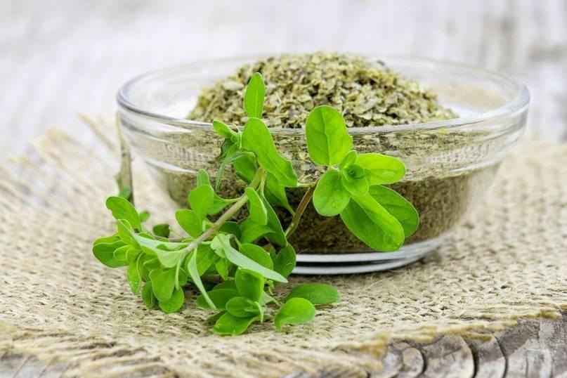 Как вырастить ароматный майоран из семян в открытом грунте и в домашних условиях