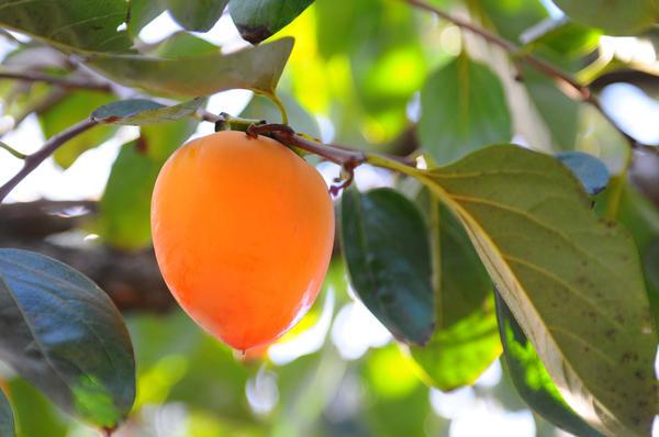 Хурма: выращивание и уход, выбор посадочного материала. как успешно вырастить хурму в своём саду или дома, даже из обычной косточки