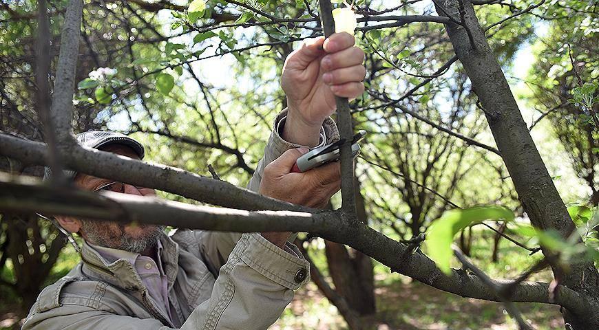 Самостоятельная прививка садовых деревьев весной