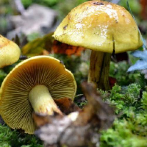 Ядовитые грибы: подборка самых опасных видов с фото