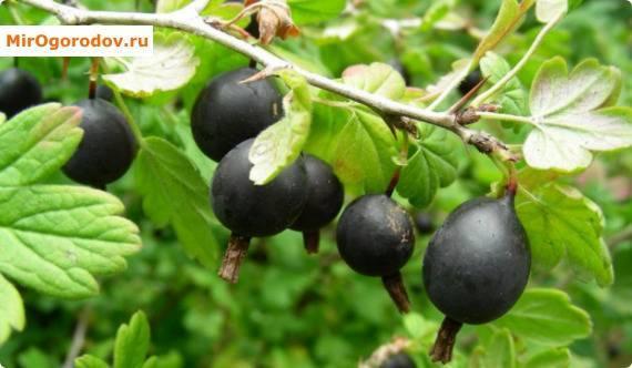 Ягода йошта: подробное описание, сорта и уход