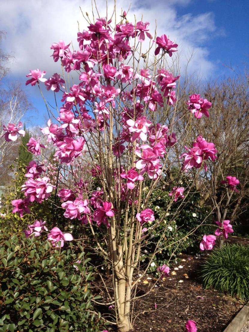 Выращивание магнолии в саду