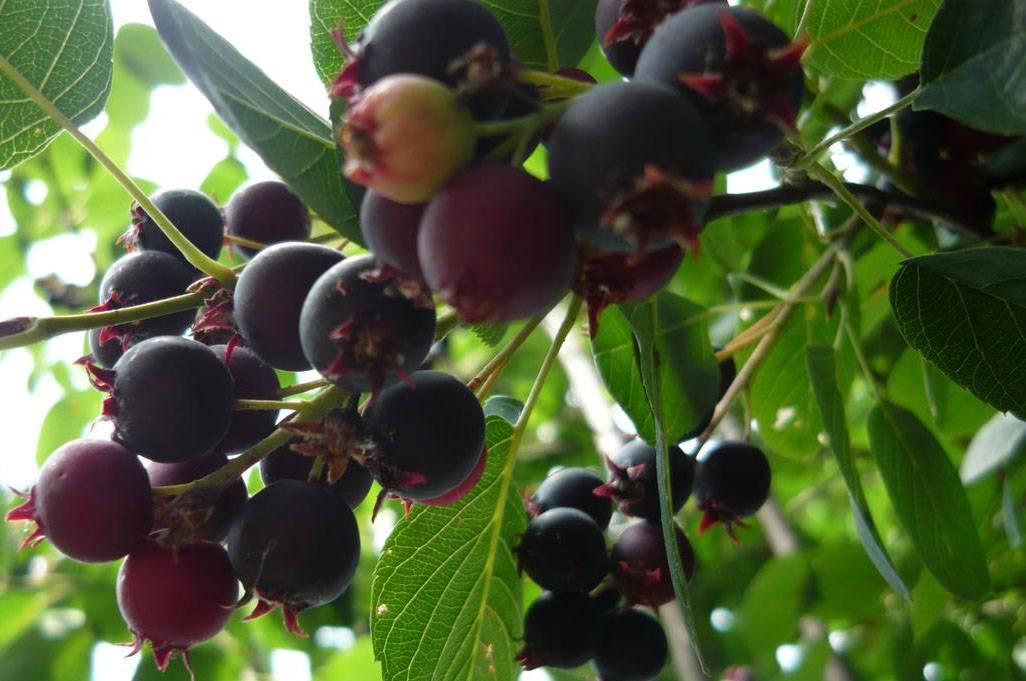 Симпатичный кустарник с полезными для здоровья ягодами — ирга