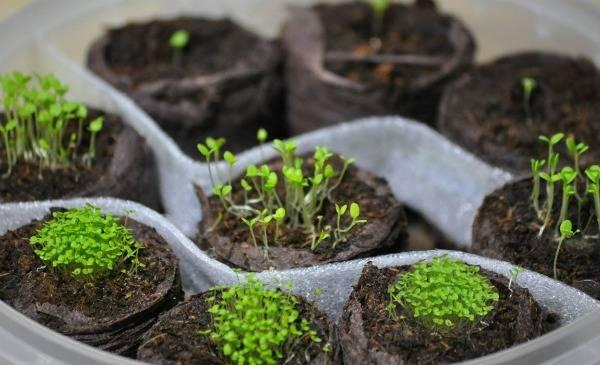 Алиссум: выращивание из семян в домашних условиях