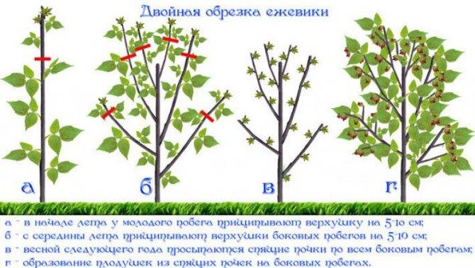 Секреты обрезки ежевики весной и осенью