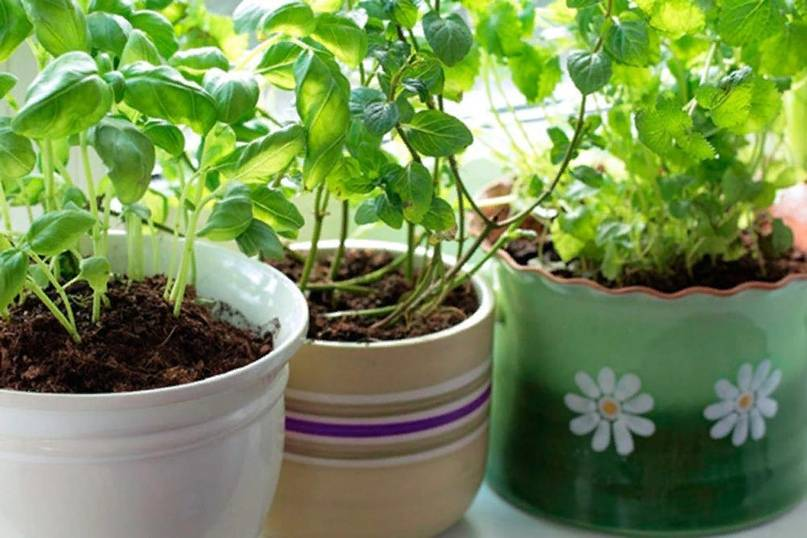 Шпинат: выращивание из семян в домашних условиях и в открытом грунте