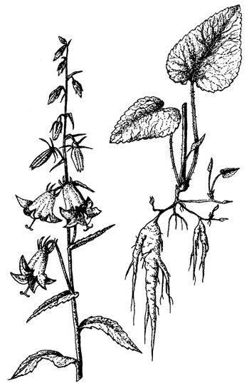 Камыш лесной — полезные свойства, описание
