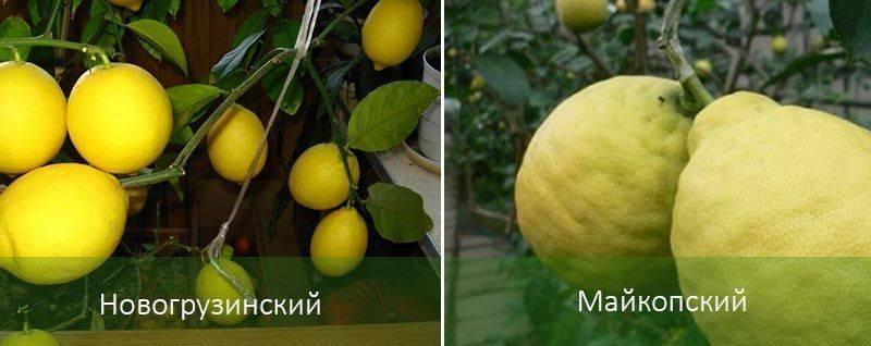 Как привить лимон в домашних условиях: видео и рекомендации