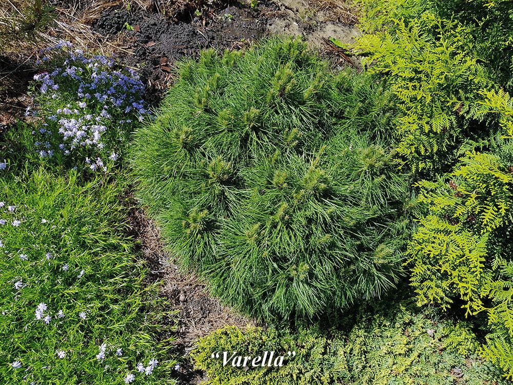 Горная сосна в ландшафтном дизайне: красивые примеры
