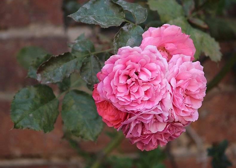 Спасаем розы от мучнистой росы