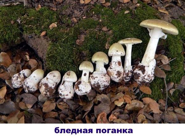 Съедобный гриб-зонтик и его двойники. как его приготовить