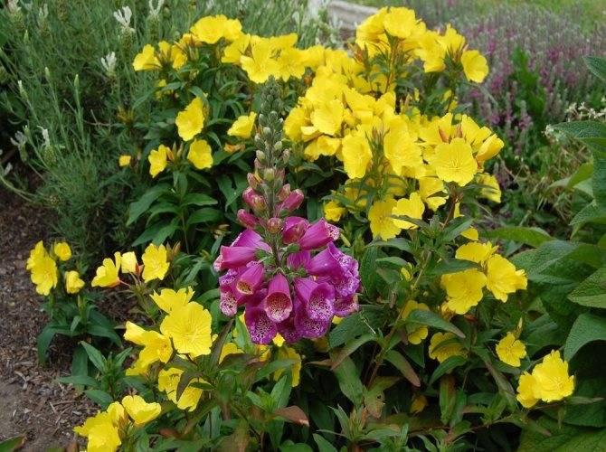 Прекрасное украшение сада: как сажать и ухаживать за многолетней энотерой