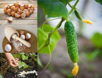Яичная скорлупа как удобрение для огурцов