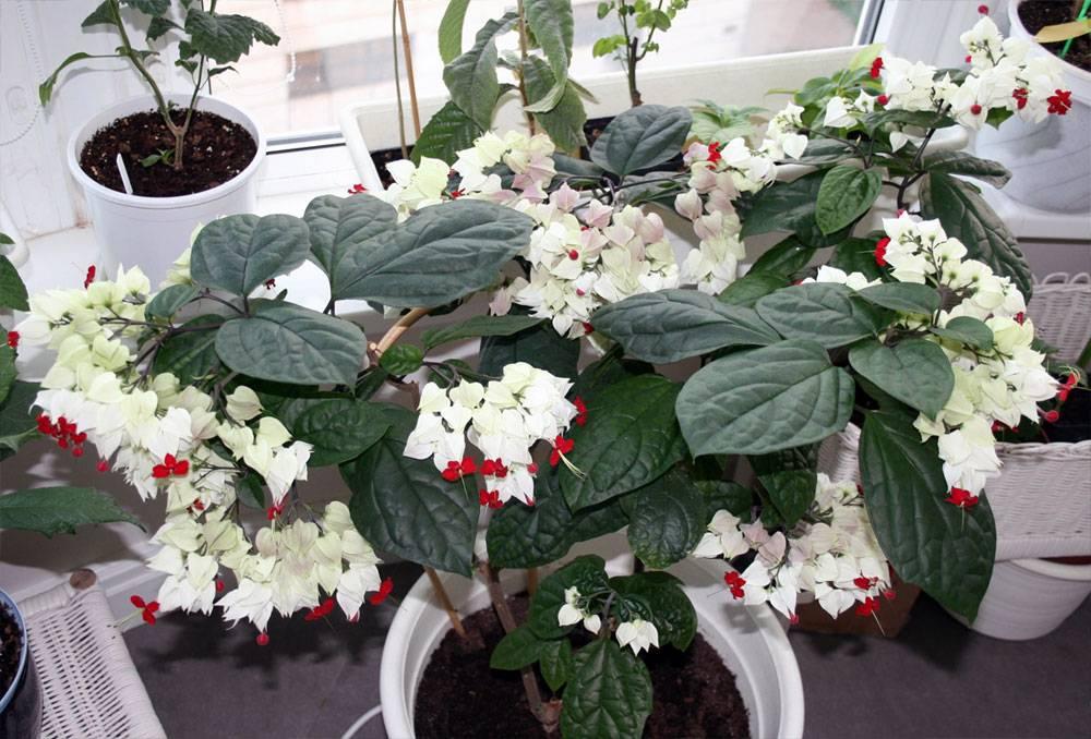 Клеродендрум филиппинский — уход за растением в домашних условиях ?