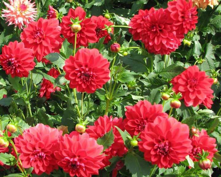 Георгины (dahlia): описание цветов — от корней до листьев
