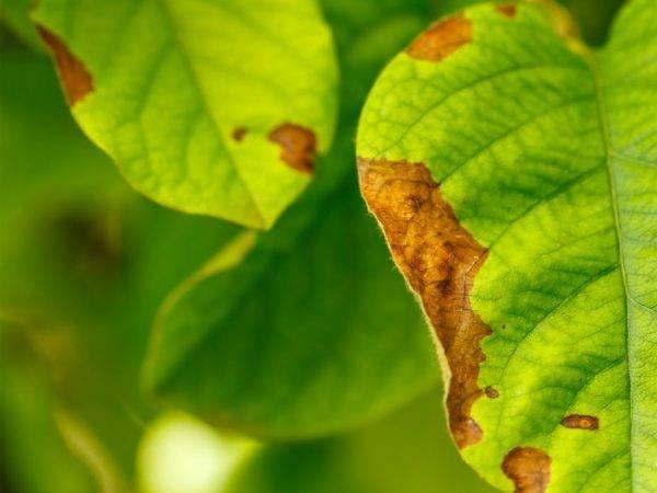 Чем лечить ржавчину на яблоне