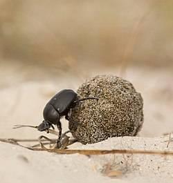 Жуки скарабеи – санитары песчаных почв. легенда древнего египта – священный жук скарабей скарабей чем опасен