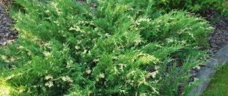 Можжевельник чешуйчатый блю свид (juniperus squamata blue swede)