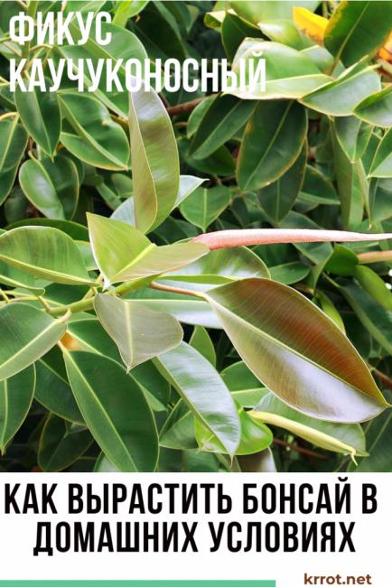 Какой уход нужен каучуковому фикусу, и что нужно знать об обрезке и размножении цветка?